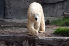 Spazierender Arktos