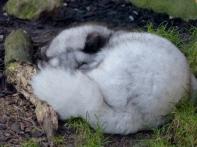 Polarfuchs-Fähe Polly
