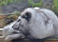 Polarfuchs-Rüde Paule