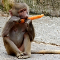 a-big-carrot-for-a-small-baboon-_19672499204_o (450x341)