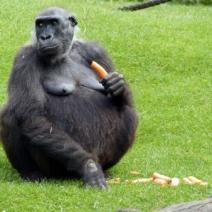 Die Gorillas im Erlebniszoo Hannover am 11.9.2013